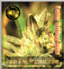Greenhouse Auto Super Critical Fem 5 Ganja Seeds